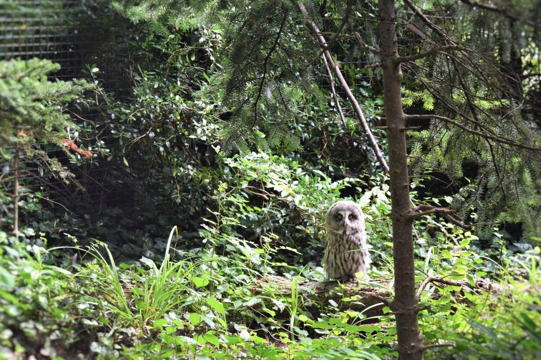 Great Grey Owl -R'dam(afroplatter)